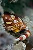 Harlequin Swimming Crab <I>(Lissocarinus laevis)<I/>