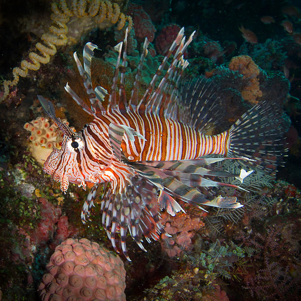 Lionfish and Soft Corals - Indonesia<br /> <br /> A venomous Indo-Pacific species, the Lionfish is very beautiful - and dangerous. The ornately-spined fin rays contain venom that, in humans, causes extreme pain, nausea, vomiting, fever, breathing difficulties, convulsions, numbness, and paresthesias. In the mid 1990s, the Lionfish was unintentionally introduced into the Atlantic Ocean and the Caribbean by their transfer in ballast tanks of huge container ships, filled with seawater from the Pacific. Now they are a thriving invasive species, and an increasing concern for reef management throughout the Caribbean Island reefs.