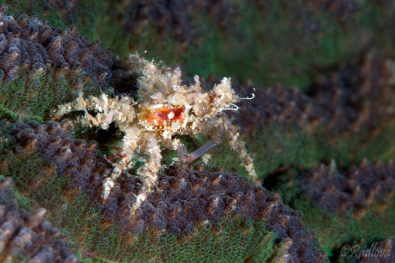 Decorator Crab (Schizophrys aspera)