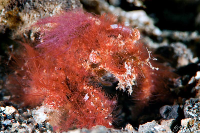 Decorator Crab <I>(Inachidae)<I/>