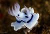 Dorid Nudibranch <i>(Chromodoris sp.)<i/>