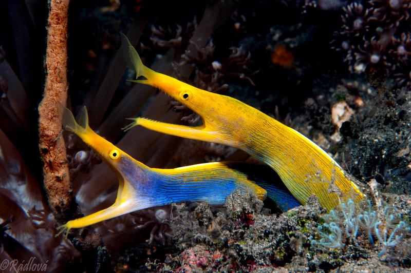 Ribbon Eels <I>(Rhinomuraena quaesita)<I/>