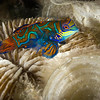 Mandarin Fish, Komodo Island - Indonesia<br /> <br /> For about a half hour each day, just as the sun is setting, these tiny (6cm) picturesque fish emerge from the broken shells and staghorn corals to dance with their mates. Male mandarin fish will patrol the broken floor for a suitable female. Once they have found each other they align themselves belly-to-belly and together, slowly rise about one meter above the reef. Once they are at the peak of their ascent, they will release sperm and a cloud of eggs, and then disappear in a flash.