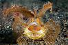 Ambon Scorpionfish <I>(Pteroidichthys amboinensis)</I>