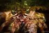 Anemone Hermit Crab <i>(Dardanus pedunculatus)<i></i></i>
