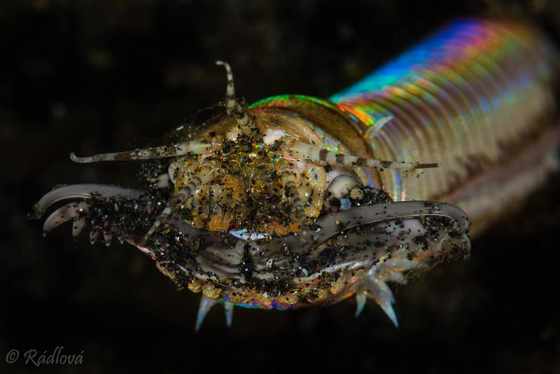 Bobbit Worm <i>(Eunice aphroditois)<i></i></i>