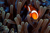 False Clown Anemonefish <I>(Amphiprion ocellaris)<I/>