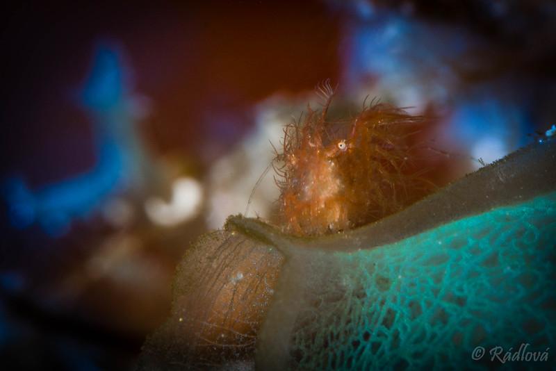 Algae Shrimp <i>(Phycocaris simulans)<i/>