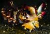 Flamboyant Cuttlefish <i>(Metasepia pfefferi)<i></i></i>