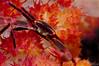 Black Coral Crab (Quadrella granulosa)