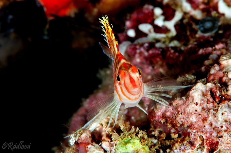 Dwarf Hawkfish <I>(Cirrhitichthys aureus)<I/>