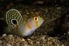 Randall's Shrimpgoby <i>(Ambleyeotris randalli)<i/>