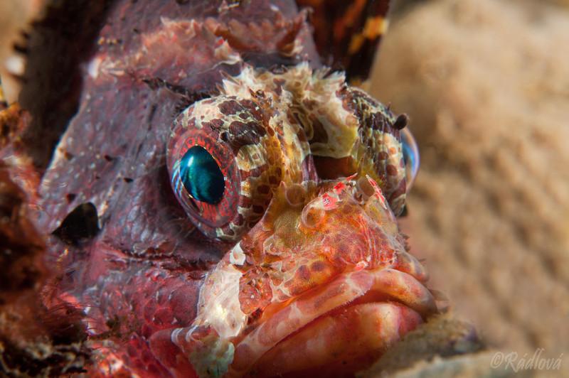 Shortfin Lionfish (Dendrochirus brachypterus)