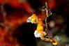 Pygmy Seahorse <I>(Pontohi)<I/>
