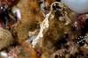 Lembeh Seadragon <i>(Kyonemichthys rumengani)</i>