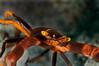 Serene's Black Coral Crab (Quadrella serenei)