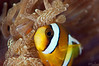 Saddleback Anemonefish (Amphiprion polymnus)