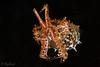 Crinoid Cuttlefish <i>(Sepia sp.2)<i></i></i>