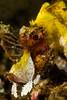 Paddle-Flap Scorpionfish <i>(Rhinopias eschmeyeri)<i></i></i>