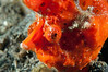 Painted Frogfish close up