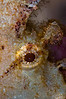 Frogfish <i>(Atennarius ?)</i>