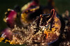 Flamboyant Cuttlefish <i>(Metasepia pfefferi)<i></i></i>