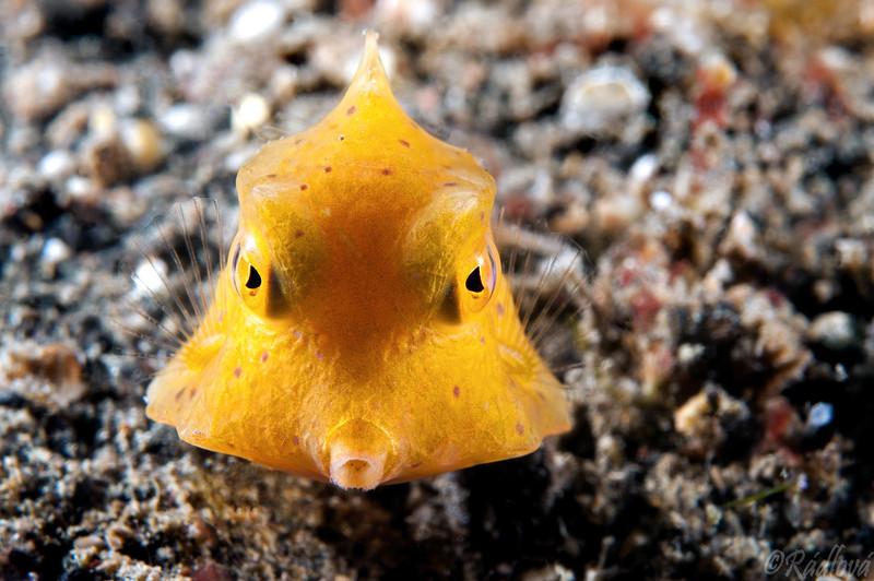 Juvenile Yellow Boxfish <i>(Ostracion cubicus)<i/>