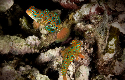 Dragonets - Indonesia  Dragonets are in the same family as the mandarin fish, but instead of their striking psychedelic coloring, the dragonets have more of a leopard pattern - an iridescent, neon, leopard pattern.