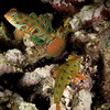 Dragonets - Indonesia<br /> <br /> Dragonets are in the same family as the mandarin fish, but instead of their striking psychedelic coloring, the dragonets have more of a leopard pattern - an iridescent, neon, leopard pattern.
