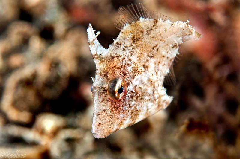 Juvenile Radial (?) Filefish <I>(Monacanthidae)<I/>