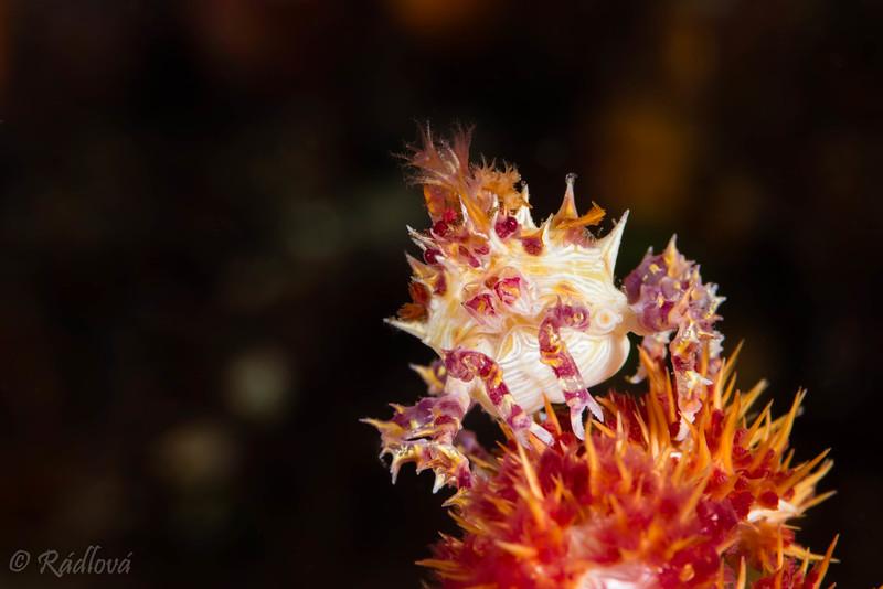 Soft Coral Crab <i>(Hoplophrys oatesii)<i></i></i>