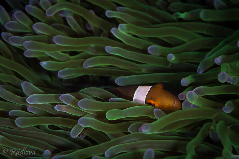 False Clown Anemonefish <i>(Amphiprion ocellaris)<i></i></i>