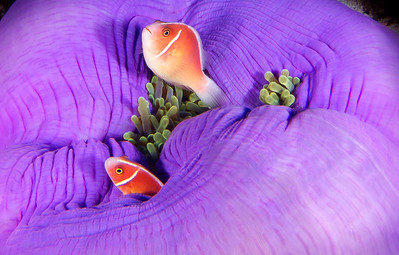 Pink Skunk Clownfish - Indonesia  In the evening, sea anemones fold themselves up into their purple leathery trunks, leaving the resident clownfish very little room for their neighborhood watch duties.