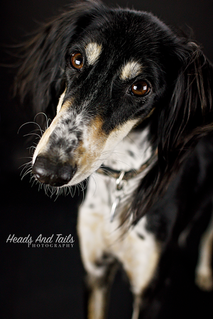 Chickpea the Saluki