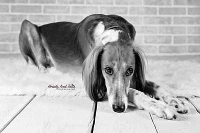 Twiggy the Saluki