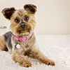 Bella the Yorkshire Terrier