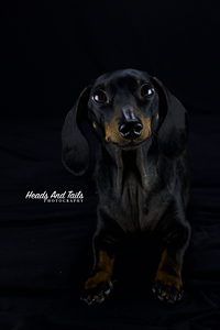 Lola the miniature dachshund