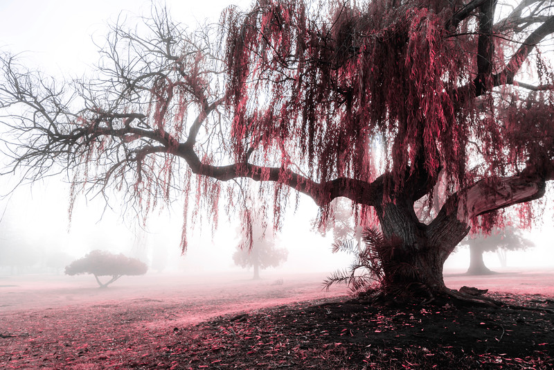Willow and Fog