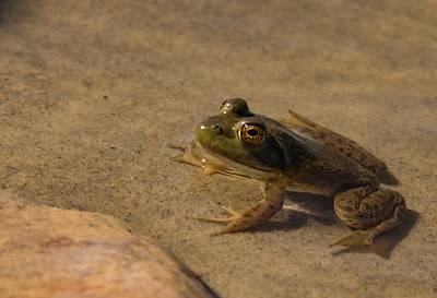 Bull Frog