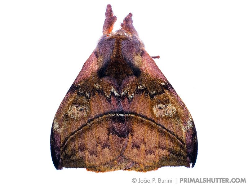 Saturniidae moth on white background