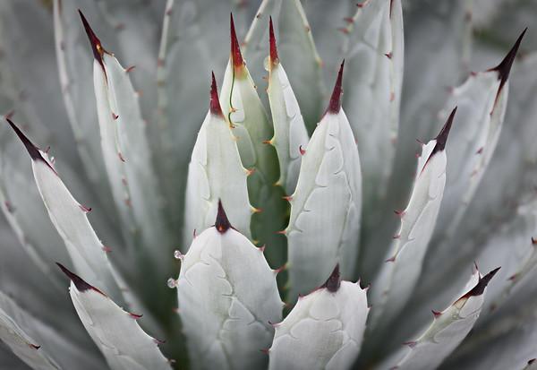 White Agave