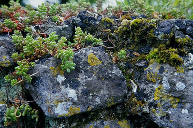 Closeup, moss and lichens on stone wall, near Rock of Cashel