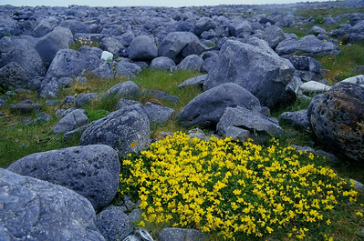 Wildflowers, Aran Islands