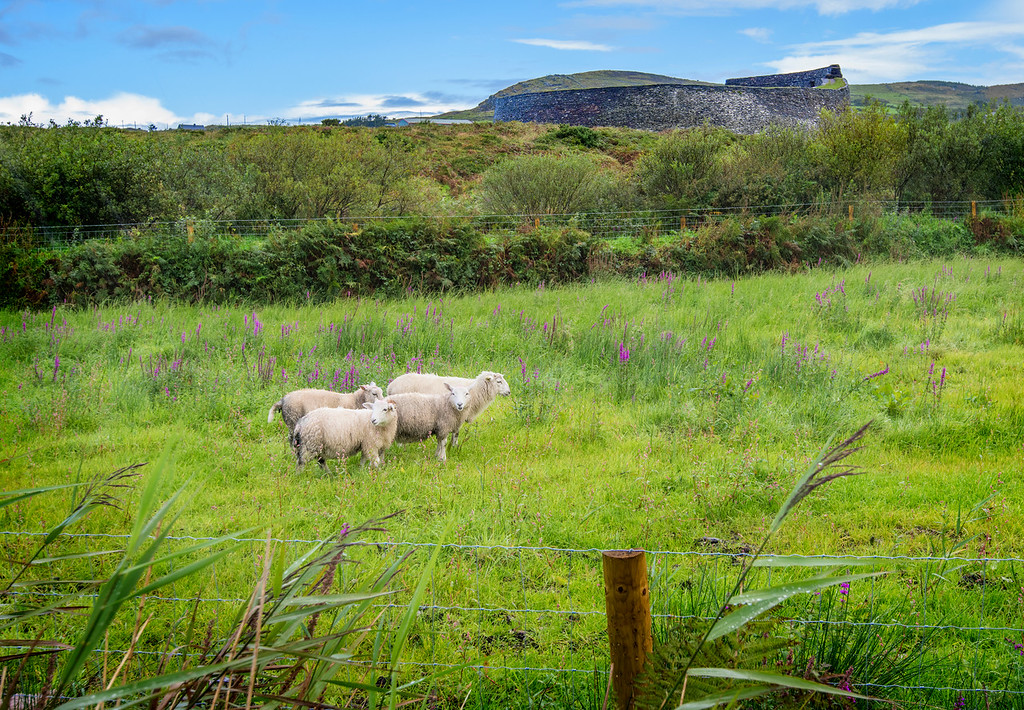 Sheep on the Ring of Kerry