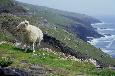 Sheep, Dingle Peninsula
