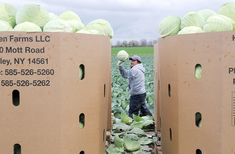 Jack Haley/Messenger Post<br /> Elias Ortiz Tlaseca tosses cabbage on to a moving wagon with other workers at Hansen Farms.