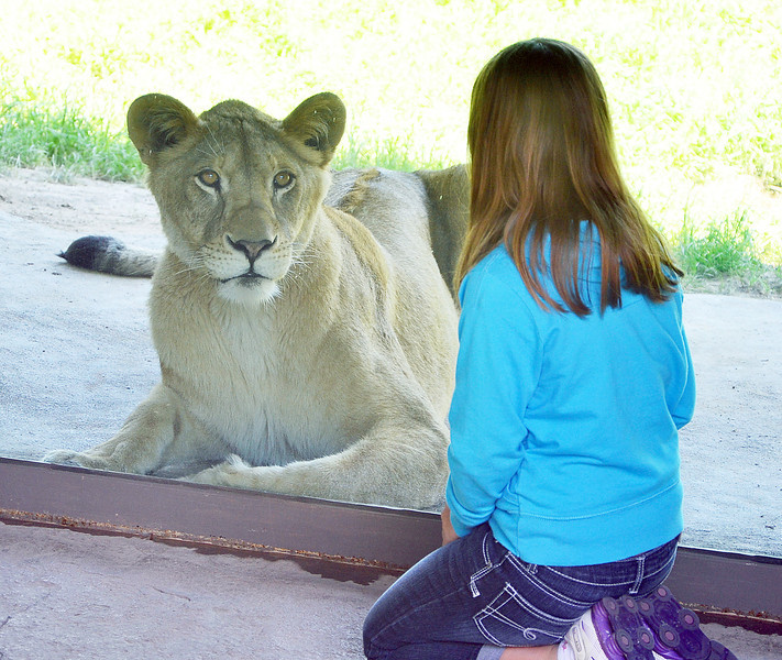 JACK HALEY/MESSENGER POST<br /> Alexsandra PiazzaPalotto 10, of Greece  gets a little alone time with one of two female lions at the Seneca Park Zoo on Thursday, the grand opening of a major new exhibit, A Step into Africa. Alexsandra was also there shooting a new commercial for the zoo.