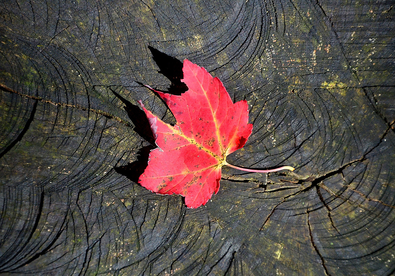 JACK HALEY/MESSENGER POST<br /> A red leaf rests on a tree stump in the bright sun light at Ontario County Park.