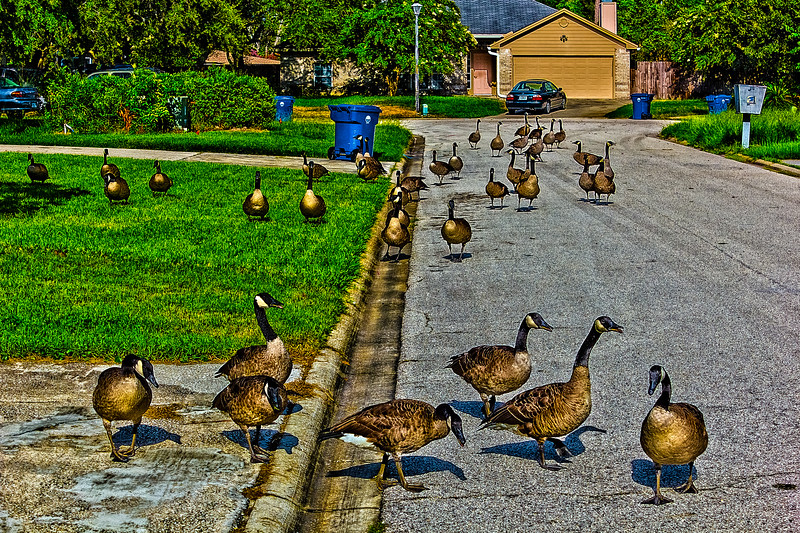 Geese on the Street