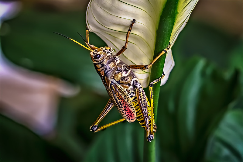 Grasshopper Eating Peace Lily